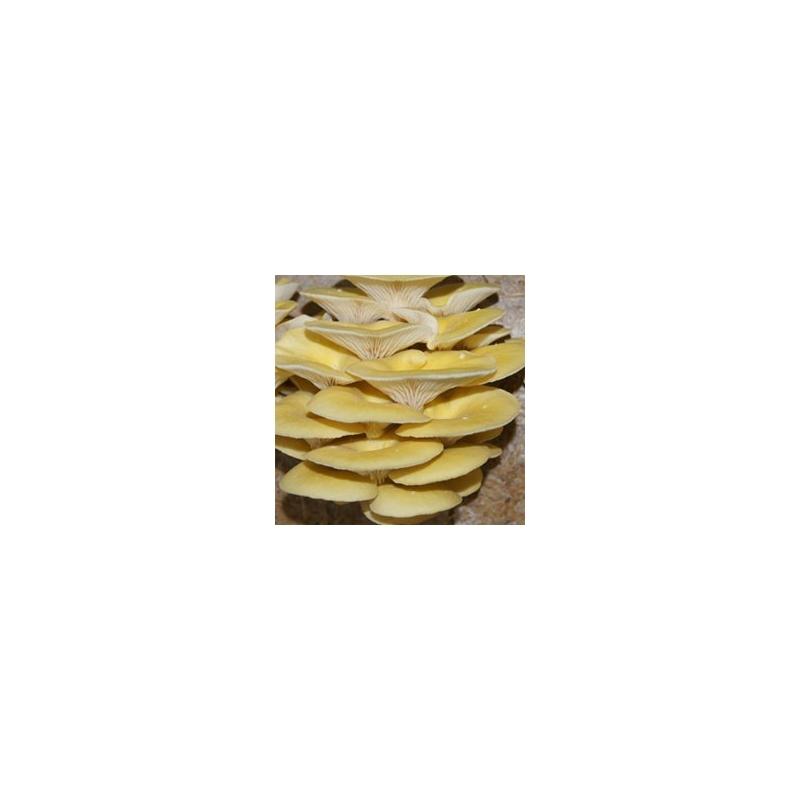 Hlíva citrónová zrnité podhoubí 1kg