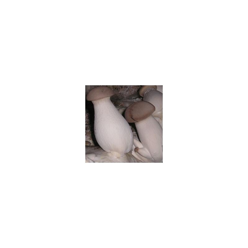 Hlíva máčková zrnité podhoubí 1kg