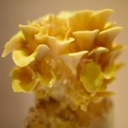 Hlíva citrónová substrát